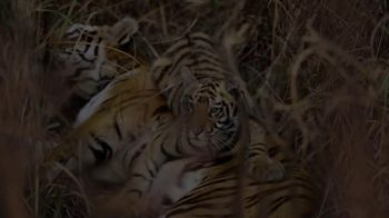 World Wildlife Fund TV Spot, 'Tigers' - Thumbnail 4
