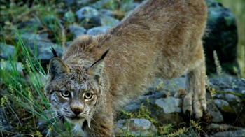 Blue Buffalo Wilderness TV Spot, 'Wild Cat' - Thumbnail 2