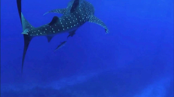 Oceana TV Spot, 'Whale Sharks' Featuring January Jones - Thumbnail 1