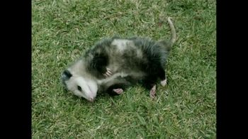 GEICO TV Spot, 'Pet Possum' - 2 commercial airings