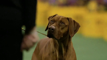 Purina Pro Plan TV Spot, 'Westminster Kennel Club Dog Show Champions' - Thumbnail 3