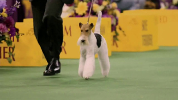 Purina Pro Plan TV Spot, 'Westminster Kennel Club Dog Show Champions' - Thumbnail 4