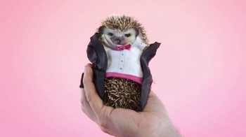 Great Big Story TV Spot, 'Hedgehog in a Tuxedo' - 130 commercial airings