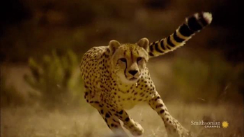 GEICO TV Spot, 'Smithsonian Channel: Speed Kills: Savannah' - 11 commercial airings