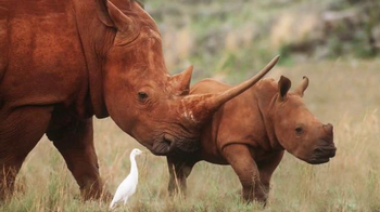 World Wildlife Fund TV Spot, 'Saving Rhinos in the Wild' - Thumbnail 3