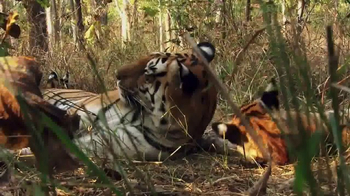 World Wildlife Fund TV Spot, 'Wild Tigers' - Thumbnail 1
