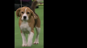 Purina Pro Plan TV Spot, 'Westminster Kennel Club Dog Show: Nine Years' - Thumbnail 5