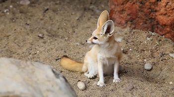 Foxes thumbnail