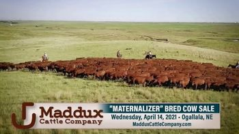 Maddux Cattle Company Maternalizer Bred Cow Sale TV Spot, 'Don't Miss' - Thumbnail 1