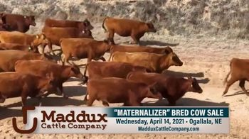 Maddux Cattle Company Maternalizer Bred Cow Sale TV Spot, 'Don't Miss' - Thumbnail 2