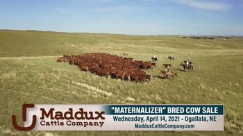 Maddux Cattle Company Maternalizer Bred Cow Sale TV Spot, 'Don't Miss' - Thumbnail 3