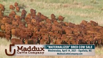 Maddux Cattle Company Maternalizer Bred Cow Sale TV Spot, 'Don't Miss' - Thumbnail 4