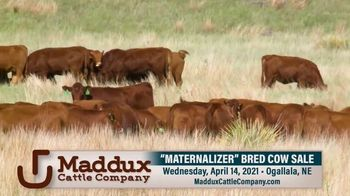 Maddux Cattle Company Maternalizer Bred Cow Sale TV Spot, 'Don't Miss' - Thumbnail 5
