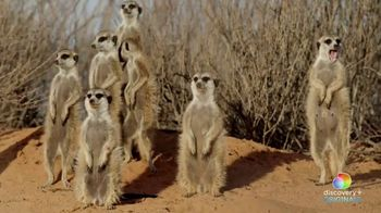 Discovery+ TV Spot, 'Meet the Meerkats' - Thumbnail 3