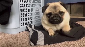 Bounce Pet Hair & Lint Guard TV Spot, 'Pets Are Gonna Shed' - Thumbnail 1