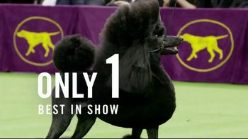 Purina Pro Plan TV Spot, '2020 Westminster Best in Show: Siba'
