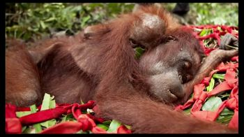 International Animal Rescue TV Spot, 'Act Now: Save the Orangutan' - 188 commercial airings