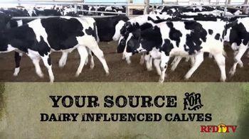 Superior Livestock Auction TV Spot, 'Dairy Influenced Calves' - Thumbnail 3