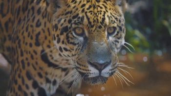 World Wildlife Fund TV Spot, 'WWF on TV: Jaguars'