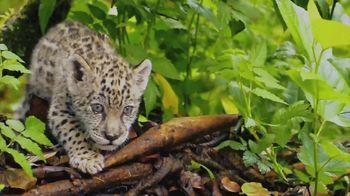 World Wildlife Fund TV Spot, 'WWF on TV: Jaguars' - Thumbnail 5
