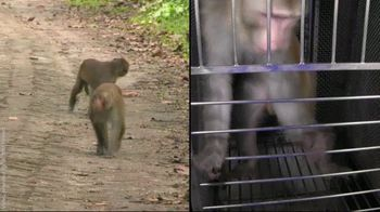 PETA TV Spot, 'Monkeys Belong in Nature, Not in Laboratories' - Thumbnail 3
