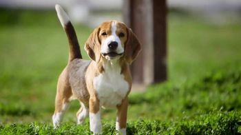 American Kennel Club TV Spot, 'Beagle: Sixth Most Popular Dog Breed'