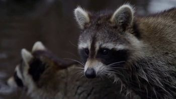 North American Trapper TV Spot, 'Raccoons' - Thumbnail 2