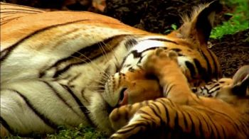World Wildlife Fund TV Spot, 'Discovery Project C.A.T.: Roar of the Tiger' - Thumbnail 4