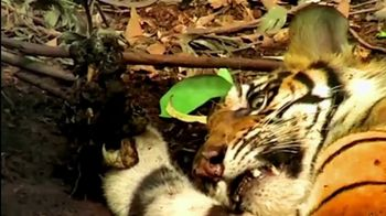 World Wildlife Fund TV Spot, 'Discovery Project C.A.T.: Roar of the Tiger' - Thumbnail 5
