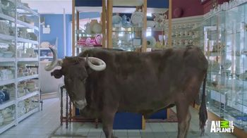 GEICO TV Spot, 'Animal Planet: Bull in a China Shop' - Thumbnail 3