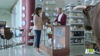 GEICO TV Spot, 'Animal Planet: Bull in a China Shop' - Thumbnail 4