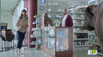 GEICO TV Spot, 'Animal Planet: Bull in a China Shop' - Thumbnail 6