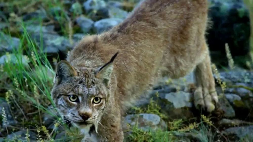 Purina Beyond Cat Food >> Blue Buffalo Wilderness Cat Food TV Commercial, 'Lynx ...
