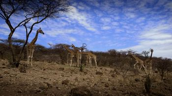 San Diego Zoo Global Wildlife Conservancy TV Spot, 'Save Giraffes' - Thumbnail 2
