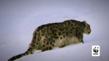 World Wildlife Fund TV Spot, 'Snow Leopards Are Being Killed' - Thumbnail 5