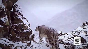World Wildlife Fund TV Spot, 'Snow Leopards Are Being Killed' - Thumbnail 6