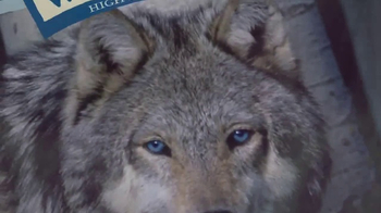 Blue Buffalo BLUE Wilderness TV Spot, 'Wolf Dreams: Regional Recipes' - Thumbnail 5