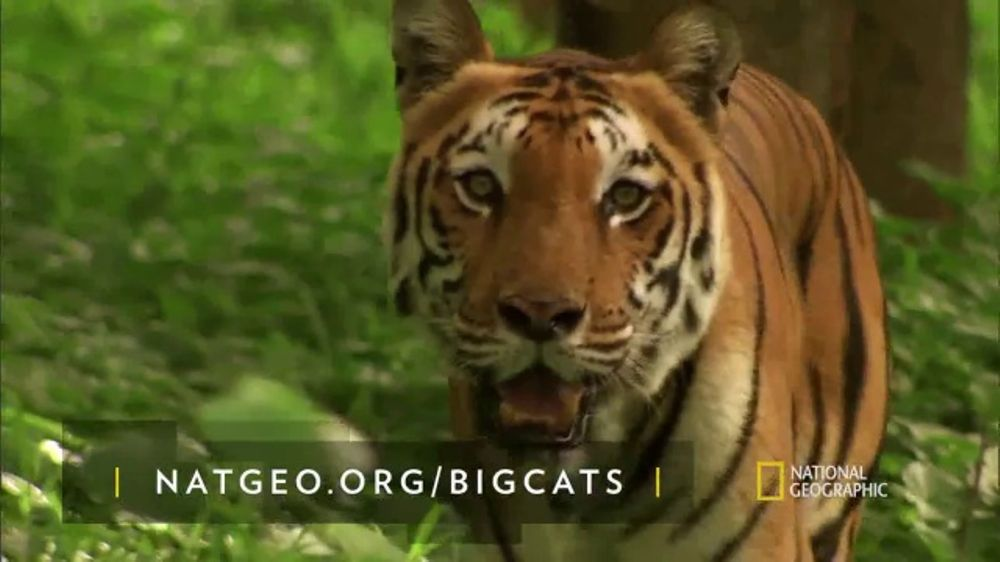 National Geographic Tv Commercial Save Big Cats Tiger Feat