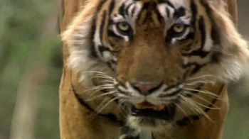 National Geographic TV Spot, 'Save Big Cats: Tiger' Feat. Filipe DeAndrade - Thumbnail 2