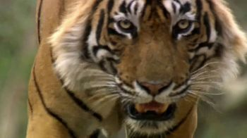 National Geographic TV Spot, 'Save Big Cats: Tiger' Feat. Filipe DeAndrade - Thumbnail 3
