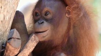 International Animal Rescue TV Spot, 'Joyce the Orangutan' - Thumbnail 1