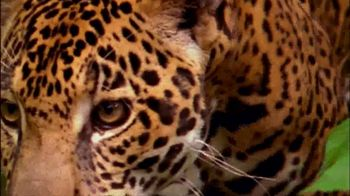 National Geographic TV Spot, 'Save Big Cats: Jaguar' - Thumbnail 6