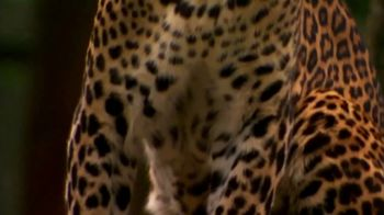 National Geographic TV Spot, 'Save Big Cats: Leopard' - Thumbnail 6