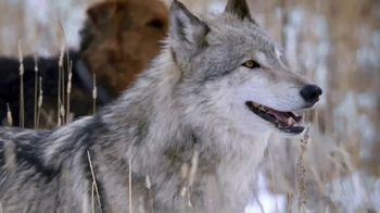 Blue Buffalo BLUE Wilderness TV Spot, 'Wolf Dreams'